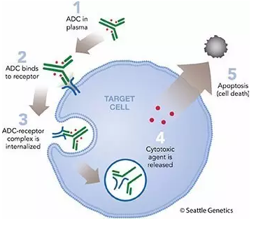 MtoZ Biolabs offers highly sensitive and accurate Antibody-Drug Conjugate (ADC) Analysis service based on high-throughput liquid chromatography and high-resolution mass spectrometer technology.