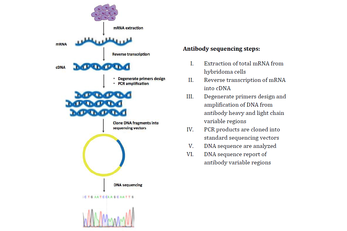 MtoZ Biolabs provides accurate and cost effective antibody gene sequencing services, based on degenerate primer design and PCR amplification technology.